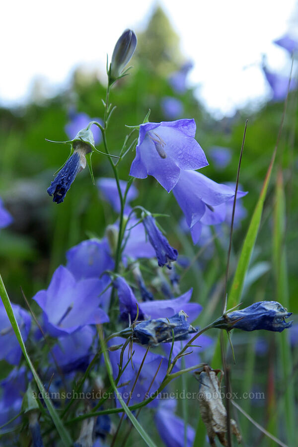 harebells (Campanula rotundifolia) [Leigh Lake Trail, Cabinet Mountains Wilderness, Montana]
