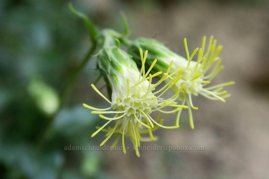 tassel-flower brickellbush (Brickellia grandiflora) [Leigh Lake Trail, Cabinet Mountains Wilderness, Montana]