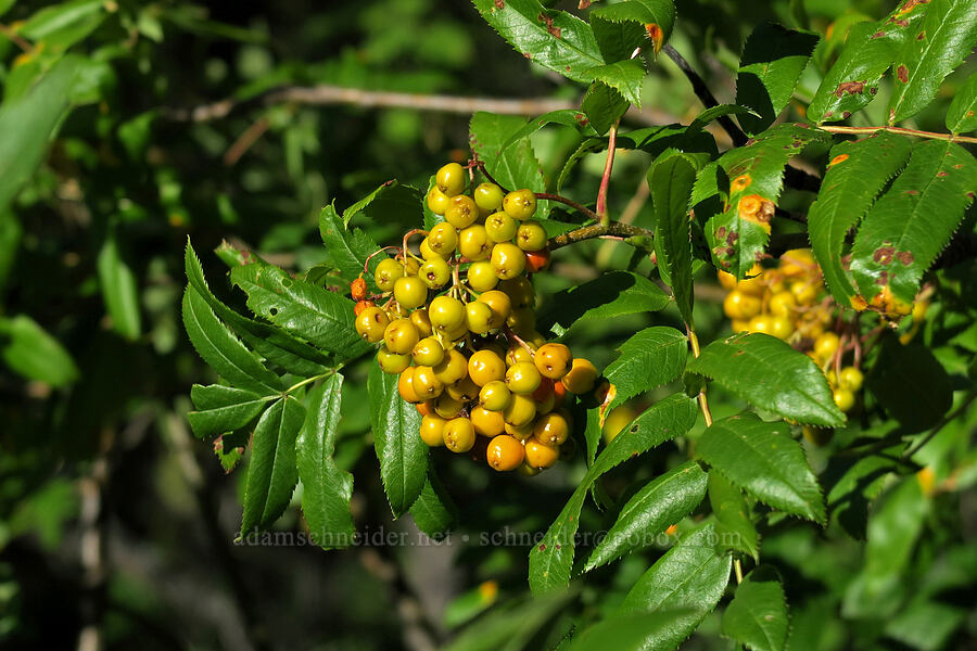 mountain-ash berries (Sorbus scopulina) [Leigh Lake Trail, Cabinet Mountains Wilderness, Montana]