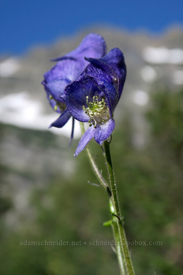 monkshood (Aconitum columbianum) [Leigh Lake Trail, Cabinet Mountains Wilderness, Montana]