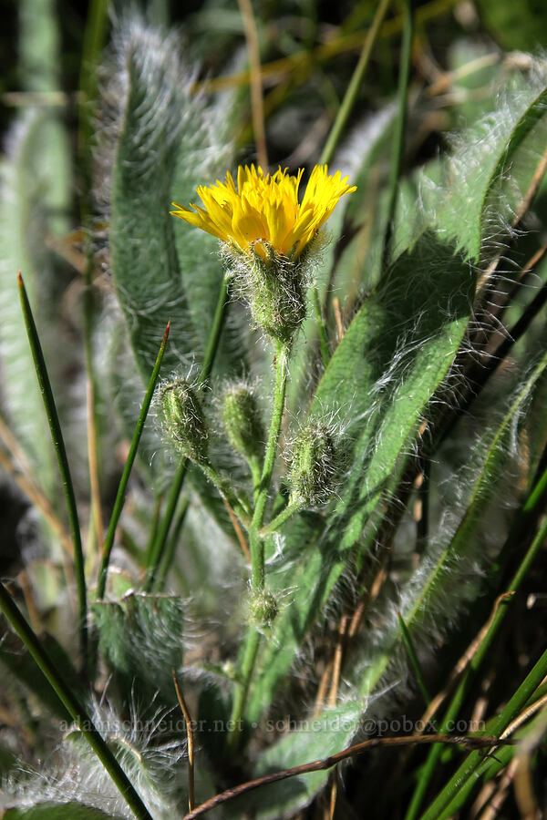 hairy hawkweed (Hieracium scouleri) [above Leigh Lake, Cabinet Mountains Wilderness, Montana]