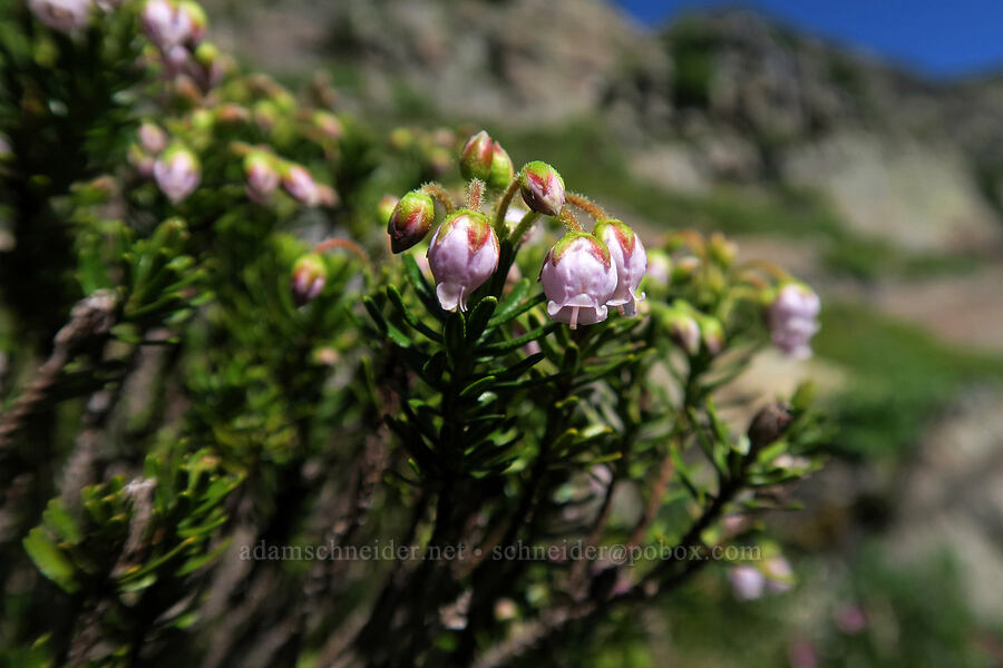 hybrid mountain heather (Phyllodoce x intermedia) [above Leigh Lake, Cabinet Mountains Wilderness, Montana]