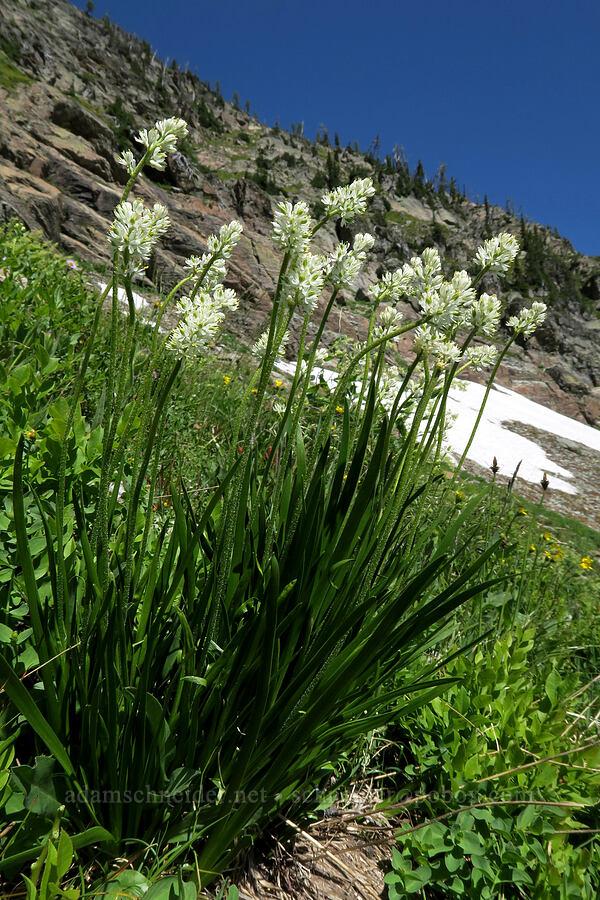 little false asphodel (Tofieldia pusilla (Narthecium pusillum)) [above Leigh Lake, Cabinet Mountains Wilderness, Montana]