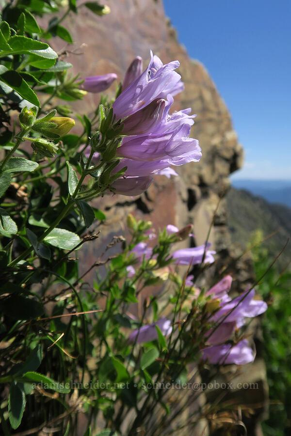 rocky ledge penstemon (Penstemon ellipticus) [above Leigh Lake, Cabinet Mountains Wilderness, Montana]