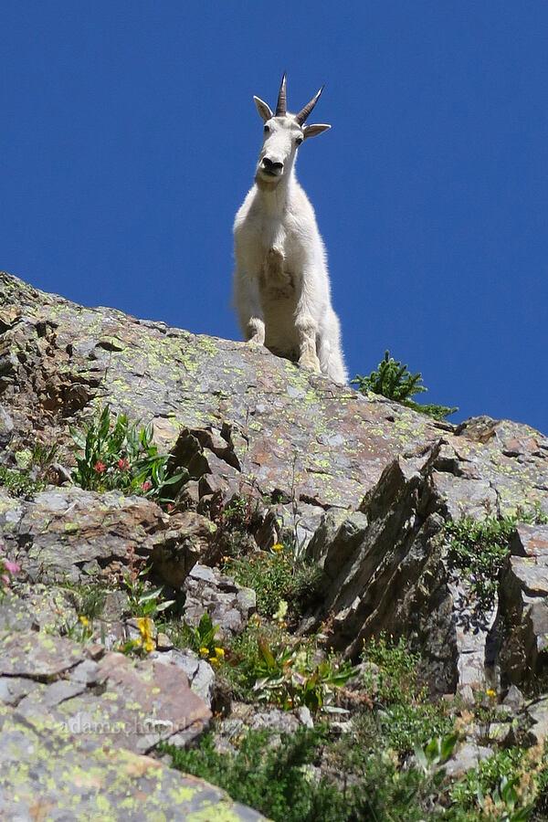 mountain goat (Oreamnos americanus) [above Leigh Lake, Cabinet Mountains Wilderness, Montana]