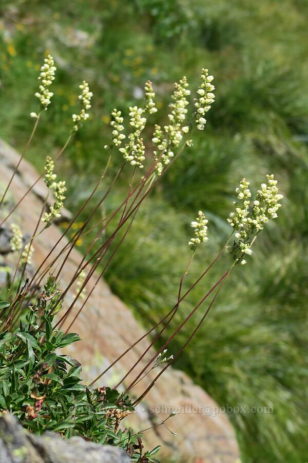 alumroot (Heuchera cylindrica) [above Leigh Lake, Cabinet Mountains Wilderness, Montana]