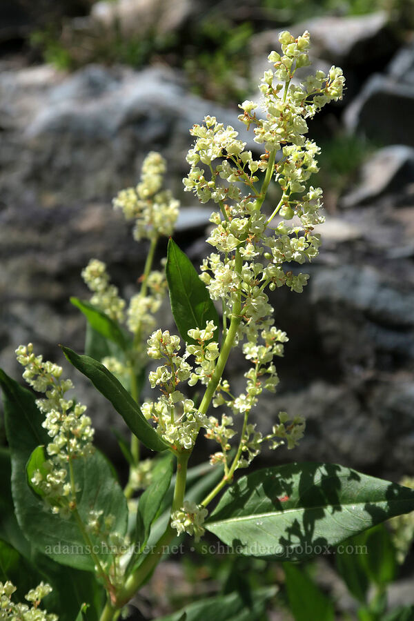 alpine knotweed (Aconogonon phytolaccifolium) [Snowshoe Peak-Bockman Peak ridge, Cabinet Mountains Wilderness, Montana]