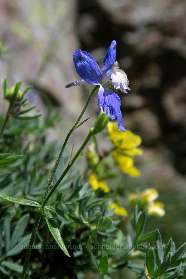 larkspur (Delphinium sp.) [above Leigh Lake, Cabinet Mountains Wilderness, Montana]