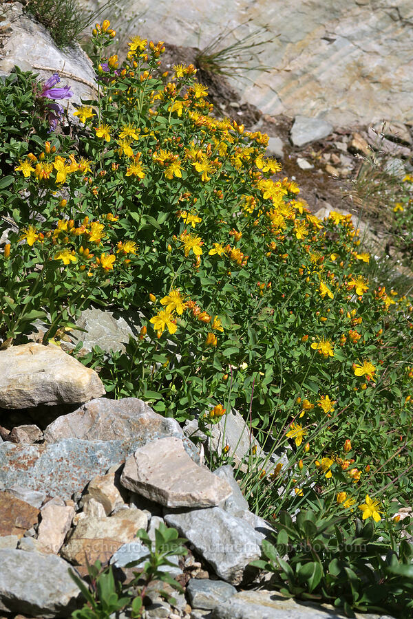western St.-John's-wort (Hypericum scouleri) [above Leigh Lake, Cabinet Mountains Wilderness, Montana]