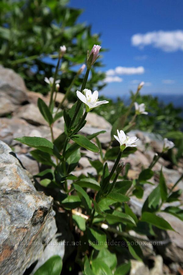 willow-herb (Epilobium sp.) [above Leigh Lake, Cabinet Mountains Wilderness, Montana]