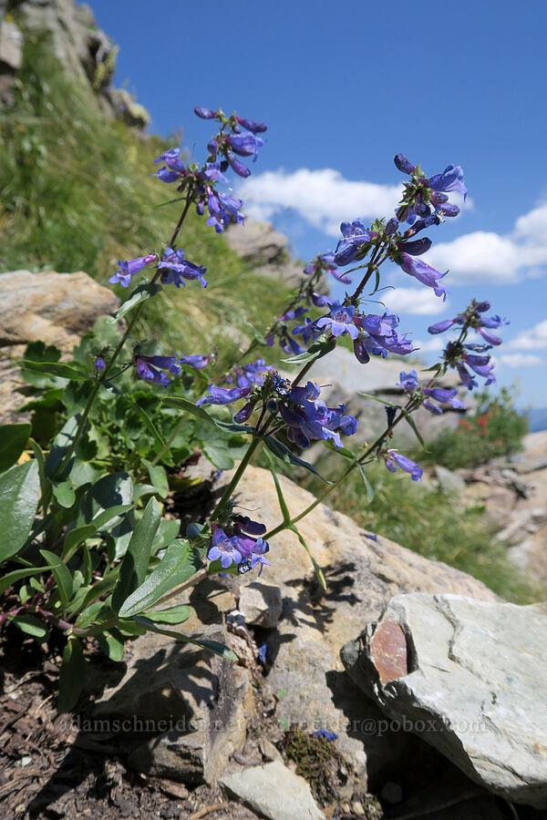 Alberta penstemon (Penstemon albertinus) [above Leigh Lake, Cabinet Mountains Wilderness, Montana]
