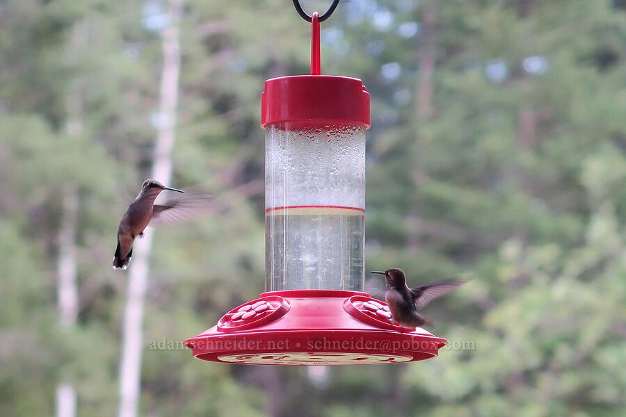 black-chinned hummingbirds (Archilochus alexandri) [Bowen Hill Road, Libby, Montana]