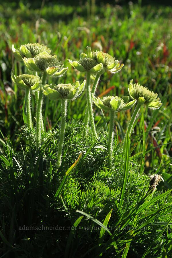 pasqueflowers (Anemone occidentalis) [Logan Pass, Glacier National Park, Montana]