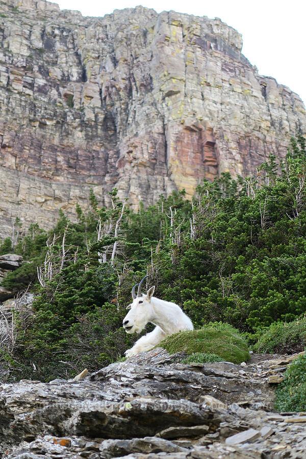 mountain goat (Oreamnos americanus) [Highline Trail, Glacier National Park, Montana]