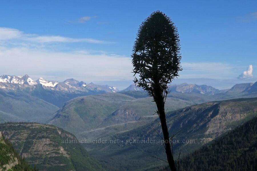 beargrass (Xerophyllum tenax) [Highline Trail, Glacier National Park, Montana]