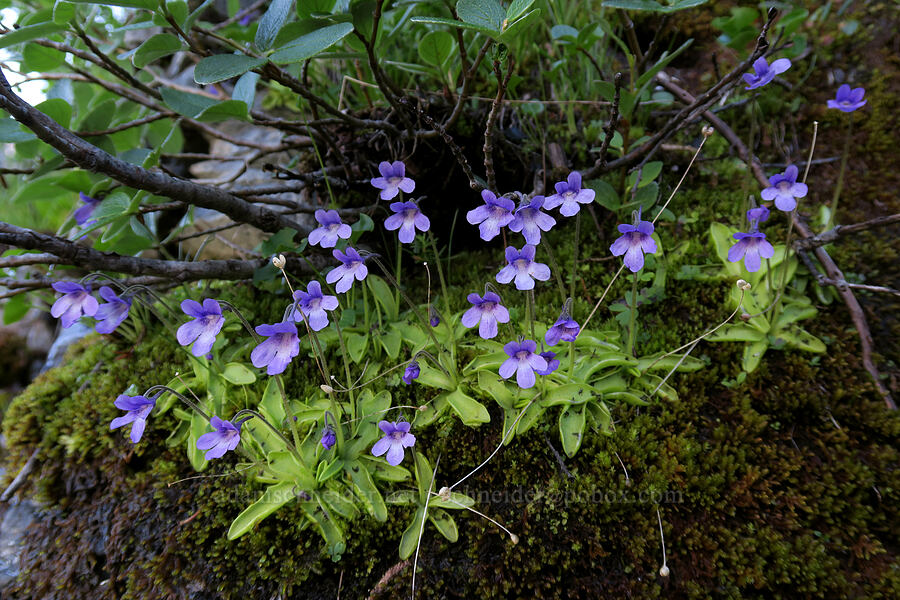 common butterwort (Pinguicula vulgaris) [Highline Trail, Glacier National Park, Montana]
