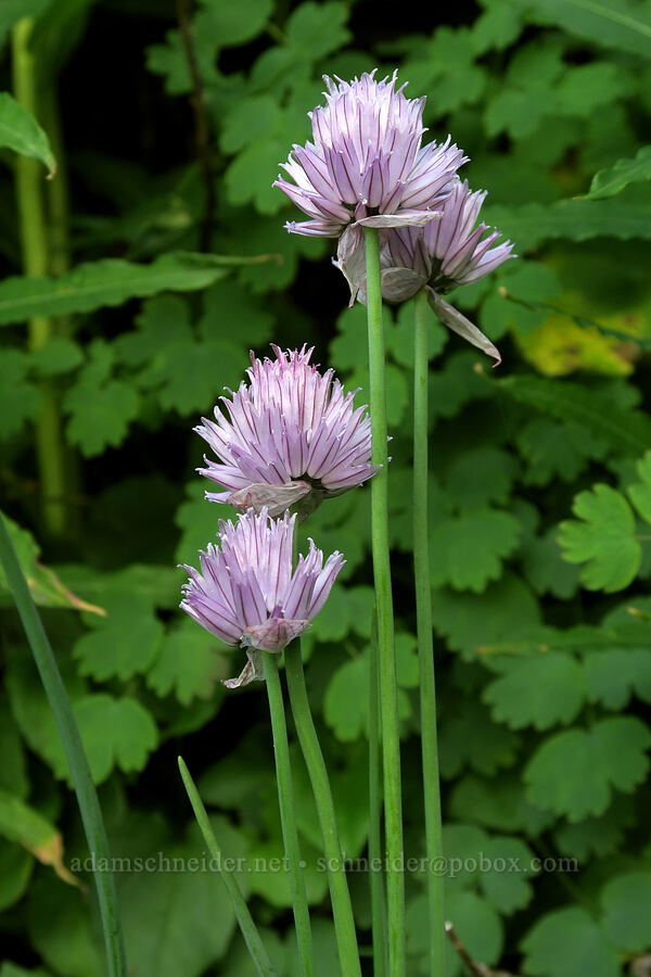wild chives (Allium schoenoprasum) [Highline Trail, Glacier National Park, Montana]
