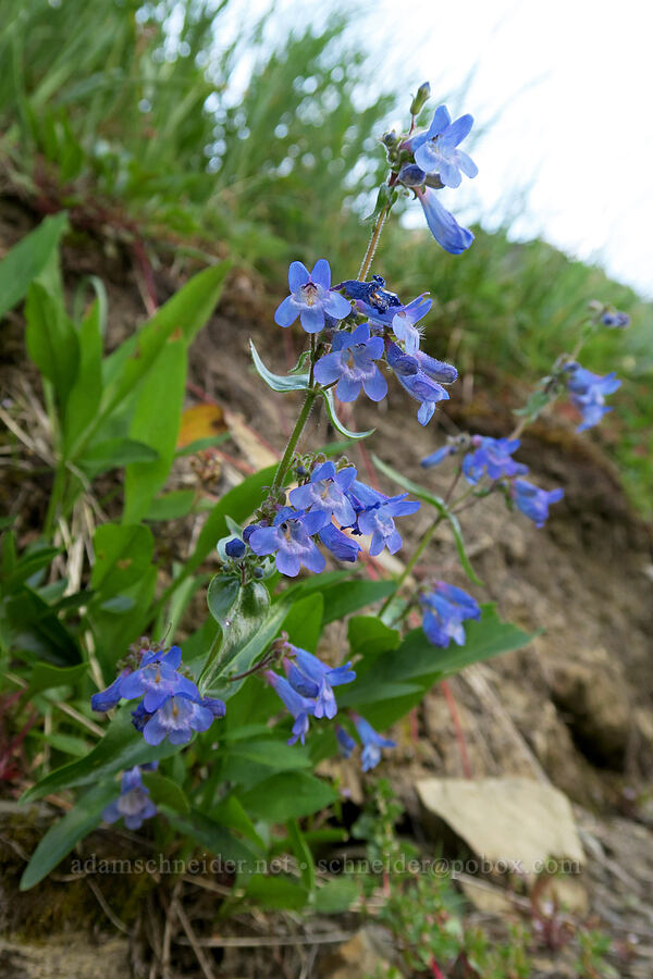 Alberta penstemon (Penstemon albertinus) [Highline Trail, Glacier National Park, Montana]