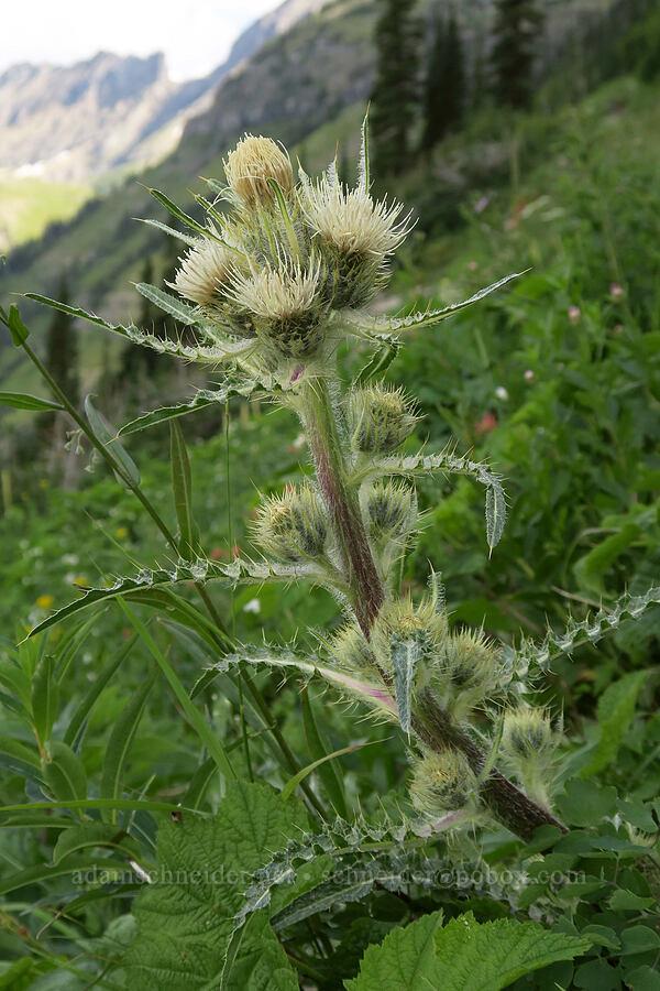 white thistle (Cirsium hookerianum) [Highline Trail, Glacier National Park, Montana]