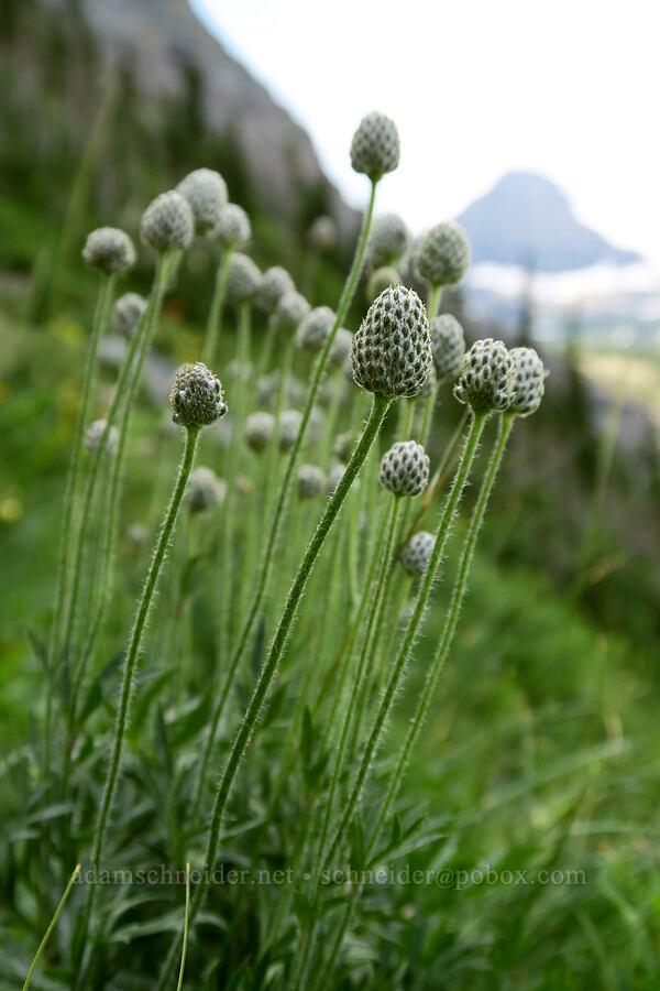 cut-leaf anemones (Anemone multifida) [Highline Trail, Glacier National Park, Montana]