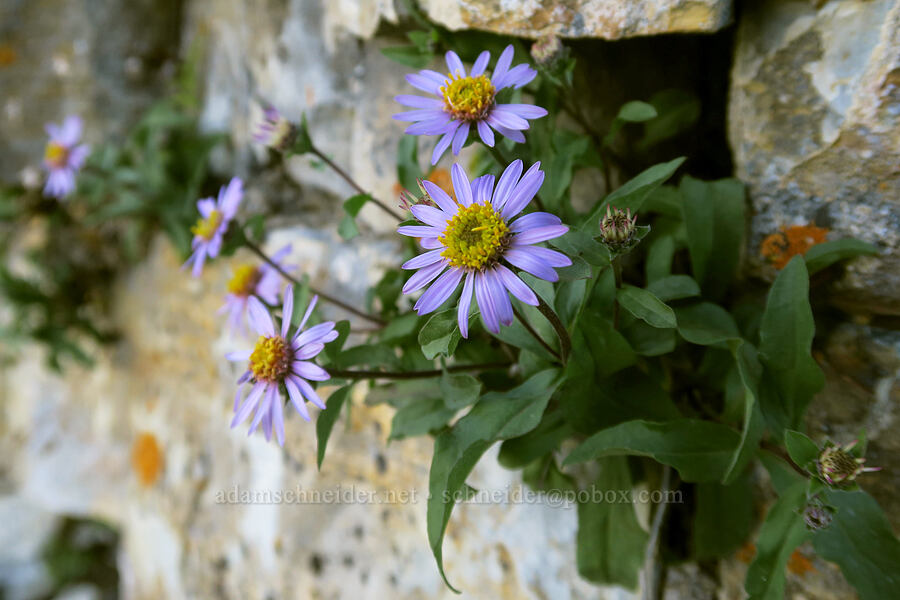 asters growing on a cliff [Highline Trail, Glacier National Park, Montana]