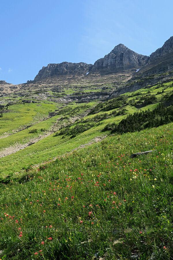 wildflowers [Highline Trail, Glacier National Park, Montana]