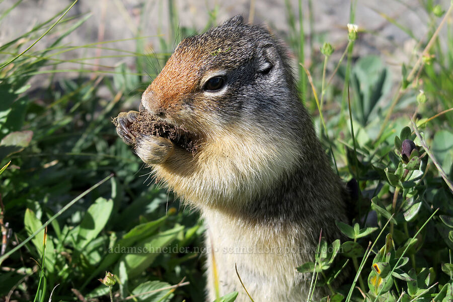 Columbian ground squirrel (Urocitellus columbianus) [Highline Trail, Glacier National Park, Montana]