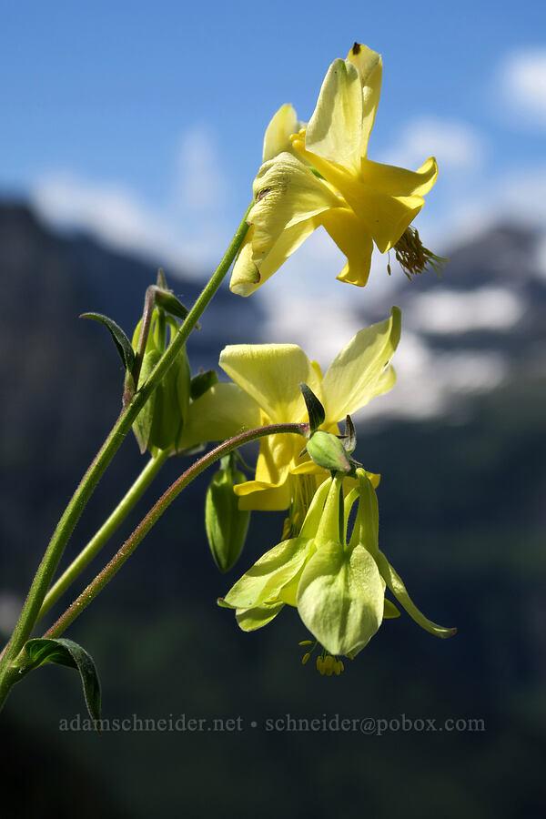 yellow columbine (Aquilegia flavescens) [Highline Trail, Glacier National Park, Montana]