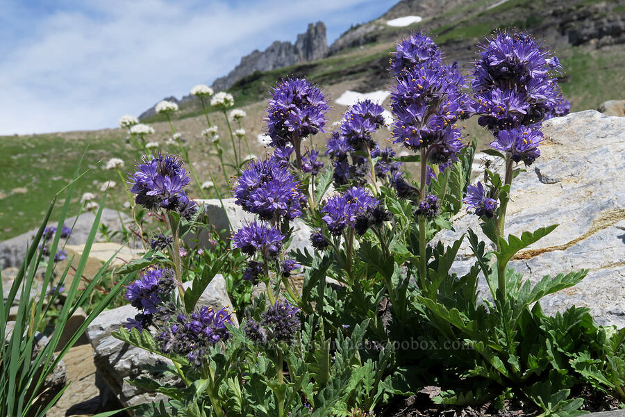 alpine phacelia (Phacelia sericea,Phacelia lyallii) [Highline Trail, Glacier National Park, Montana]