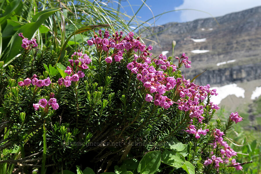 pink mountain heather (Phyllodoce empetriformis) [Highline Trail, Glacier National Park, Montana]