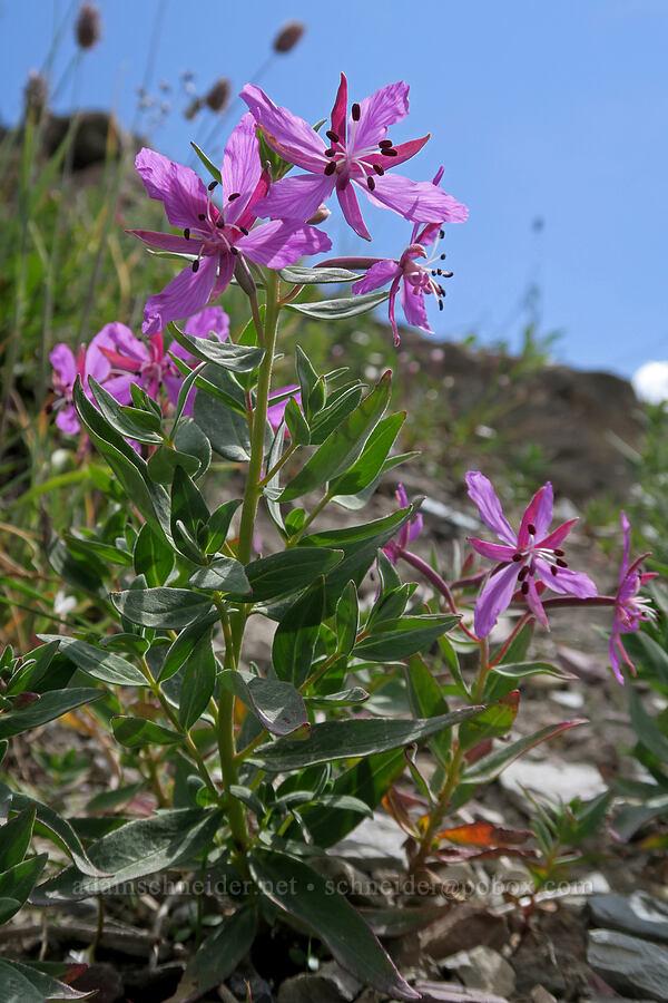 dwarf fireweed (Chamerion latifolium (Epilobium latifolium)) [Highline Trail, Glacier National Park, Montana]