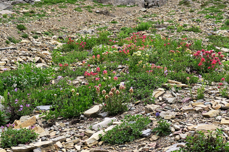 paintbrush garden (Castilleja sp.) [Highline Trail, Glacier National Park, Montana]