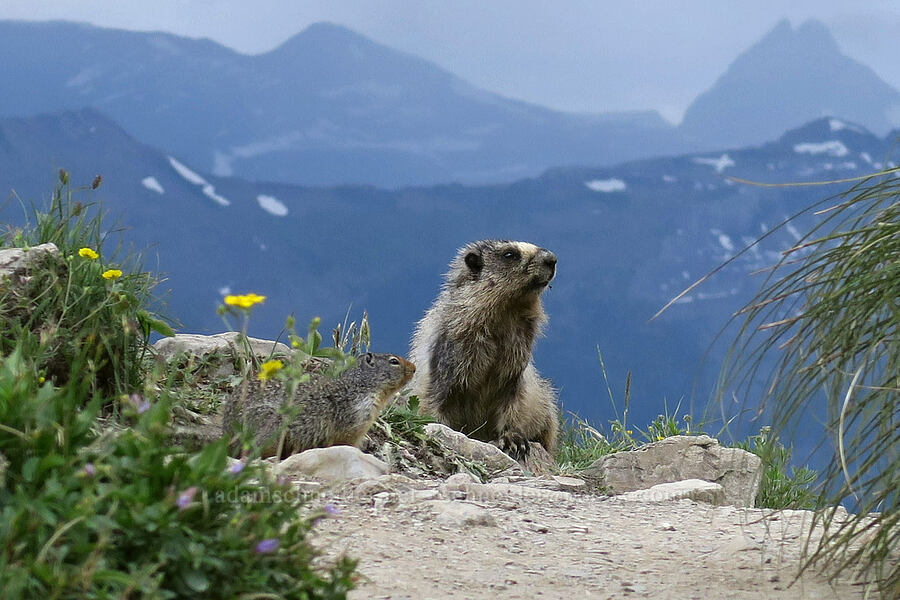 hoary marmot & Columbian ground squirrel (Marmota caligata, Urocitellus columbianus) [Highline Trail, Glacier National Park, Montana]