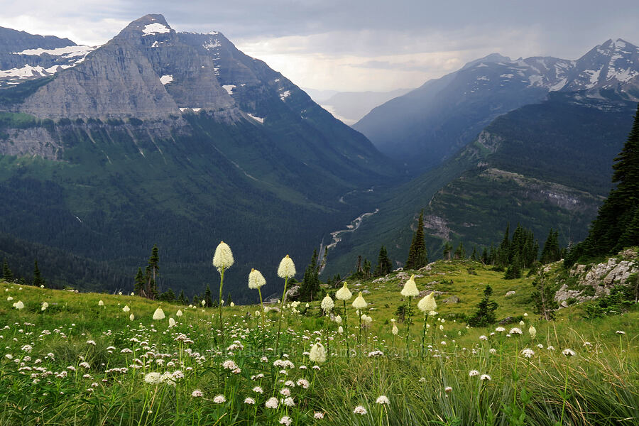 Mt. Cannon, Heavens Peak, & beargrass (Xerophyllum tenax) [Highline Trail, Glacier National Park, Montana]