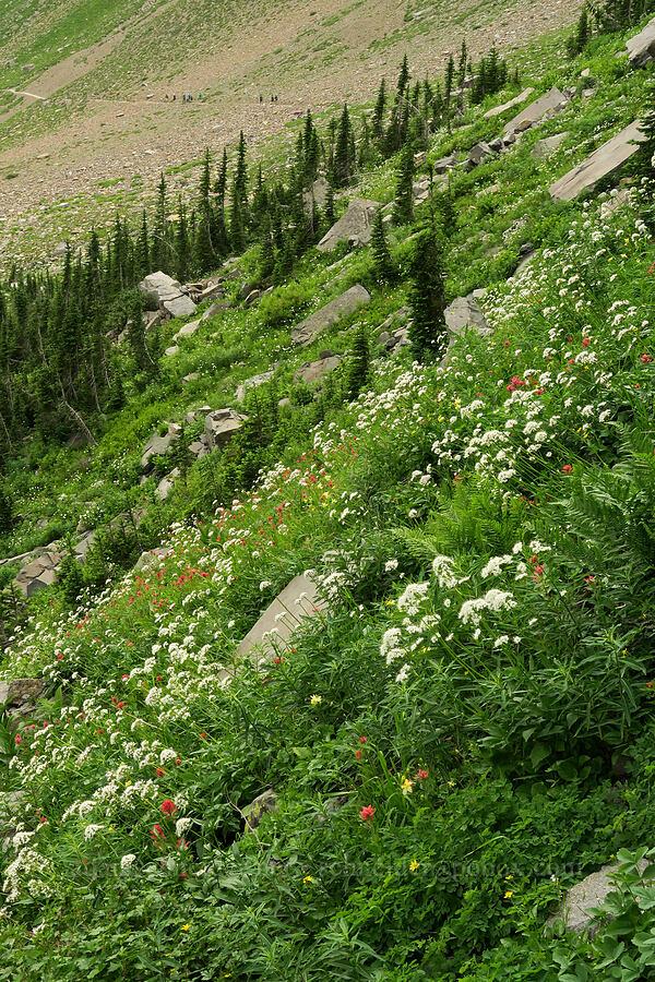 Sitka valerian, paintbrush, etc. (Valeriana sitchensis, Castilleja sp.) [Highline Trail, Glacier National Park, Montana]
