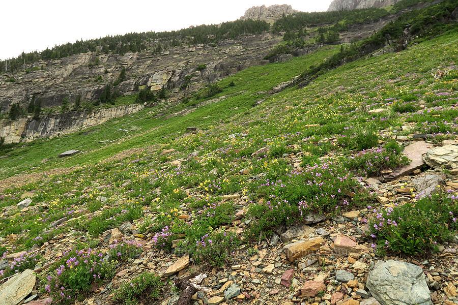 penstemon & columbines (Penstemon ellipticus, Aquilegia flavescens) [Highline Trail, Glacier National Park, Montana]