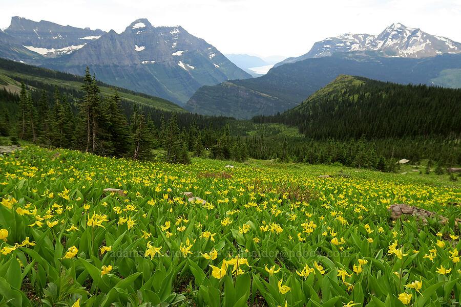 glacier lilies (Erythronium grandiflorum) [Highline Trail, Glacier National Park, Montana]
