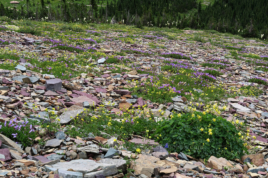 penstemon & columbines (Penstemon ellipticus, Aquilegia flavescens) [Garden Wall Trail, Glacier National Park, Montana]