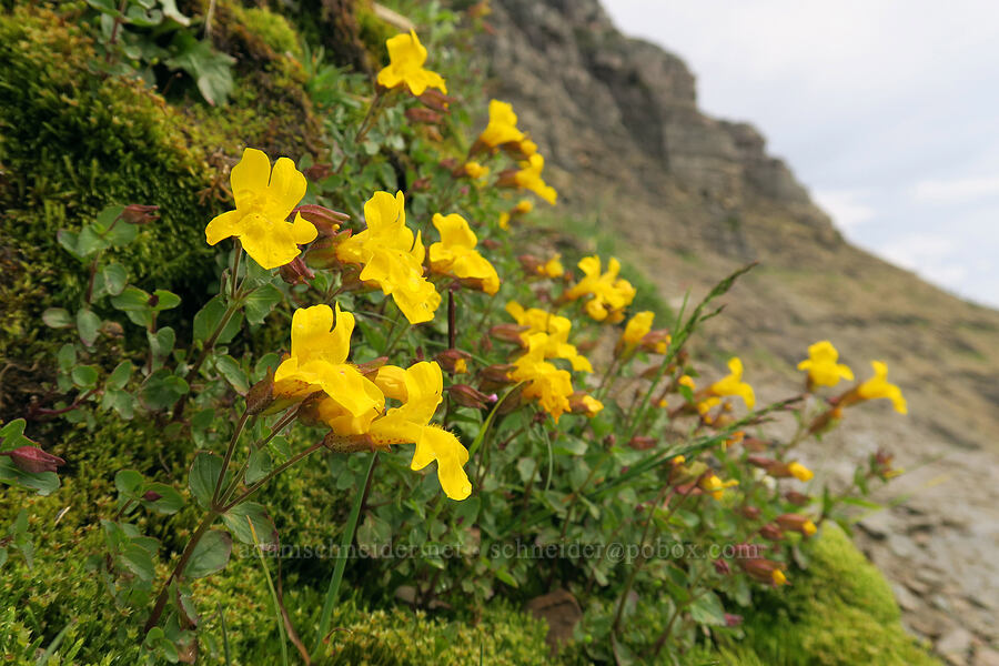 monkeyflower (Erythranthe sp. (Mimulus sp.)) [Garden Wall Trail, Glacier National Park, Montana]