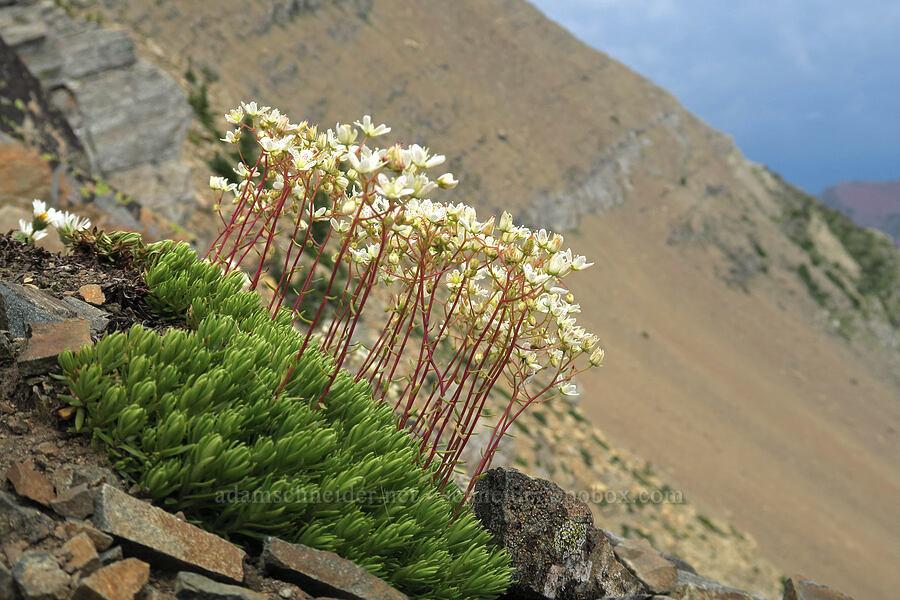 spotted saxifrage (Saxifraga bronchialis ssp. austromontana) [Garden Wall Trail, Glacier National Park, Montana]