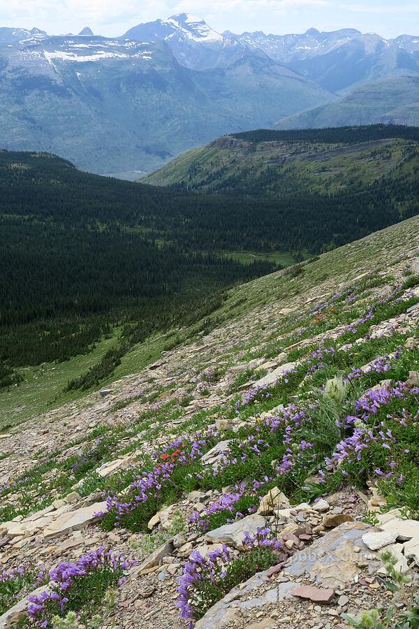 wildflowers [Garden Wall Trail, Glacier National Park, Montana]