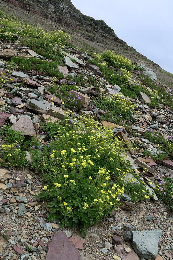 cinquefoil & penstemon (Potentilla sp. (Drymocallis sp.), Penstemon sp.) [Garden Wall Trail, Glacier National Park, Montana]