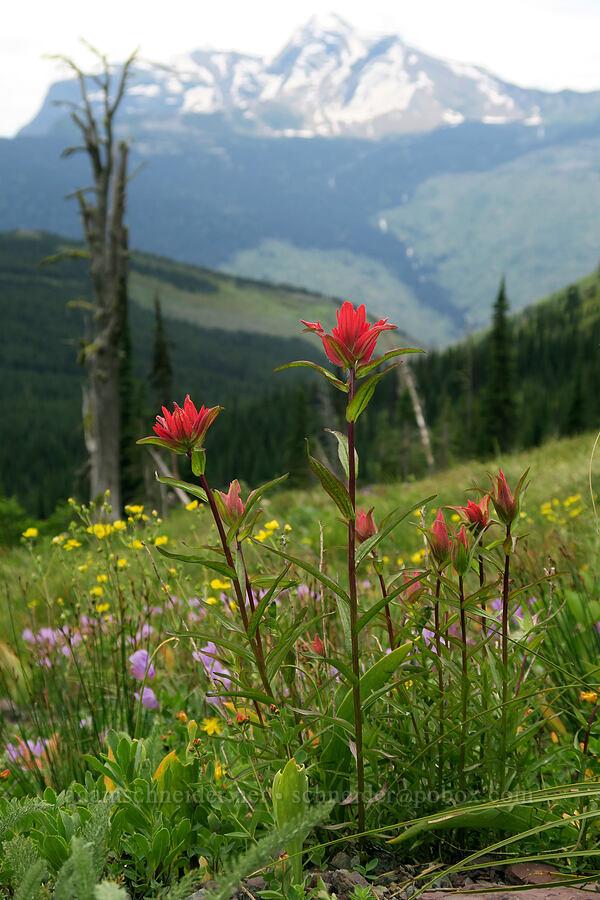 paintbrush, penstemon, & cinquefoil (Castilleja sp., Penstemon ellipticus, Potentilla sp.) [Highline Trail, Glacier National Park, Montana]