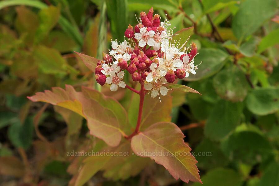 white spirea (Spiraea betulifolia) [Granite Park Trail, Glacier National Park, Montana]