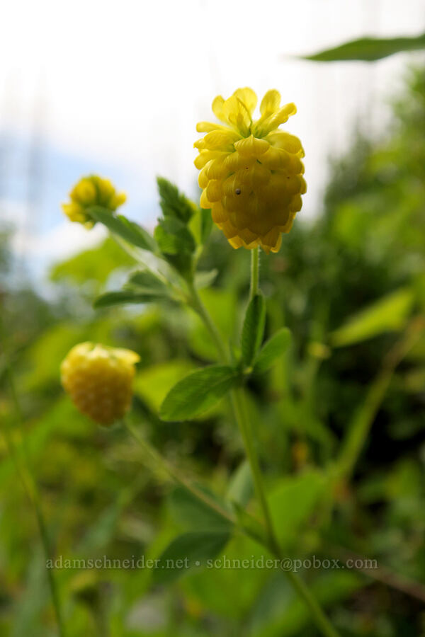 hop clover (Trifolium campestre) [Granite Park Trail, Glacier National Park, Montana]