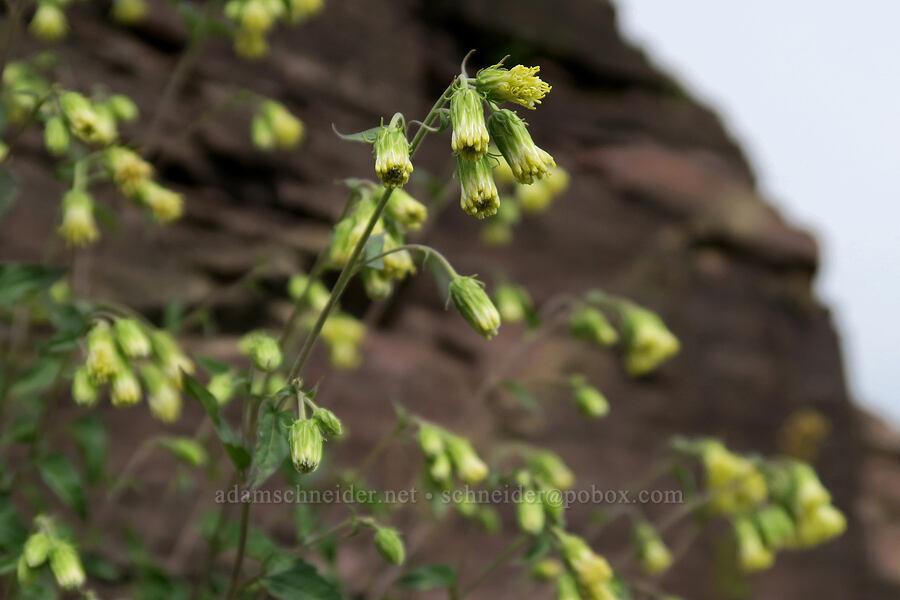 tassel-flower brickellbush (Brickellia grandiflora) [Granite Park Trail, Glacier National Park, Montana]