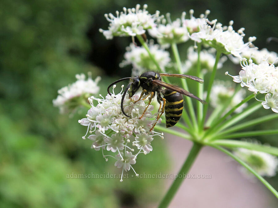 yellowjacket wasp on sharp-tooth angelica (Dolichovespula sp., Angelica arguta) [Avalanche Lake Trail, Glacier National Park, Montana]