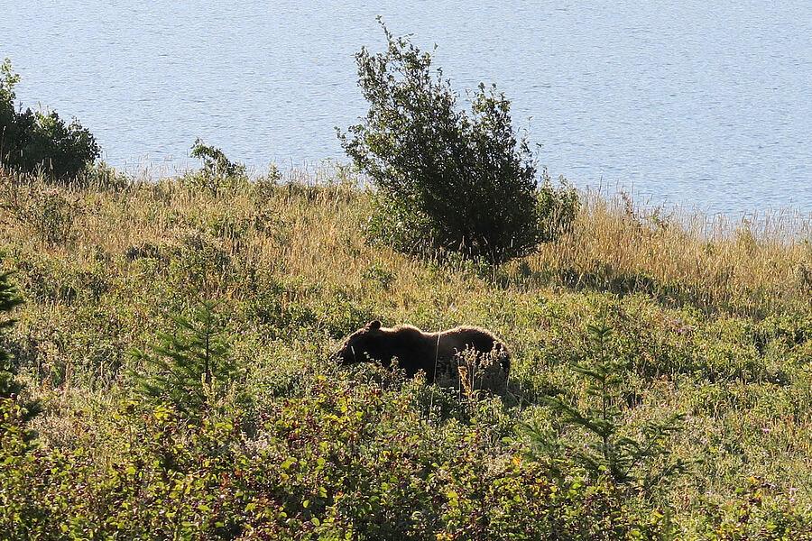 grizzly bear (Ursus arctos horribilis) [Going-to-the-Sun Road, Glacier National Park, Montana]