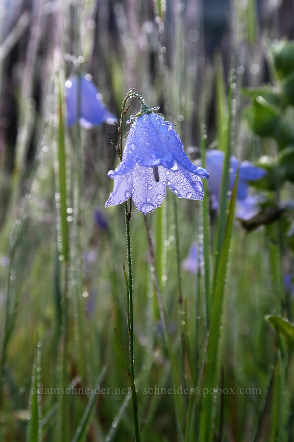 harebells (Campanula rotundifolia) [South Shore Lake Josephine Trail, Glacier National Park, Montana]