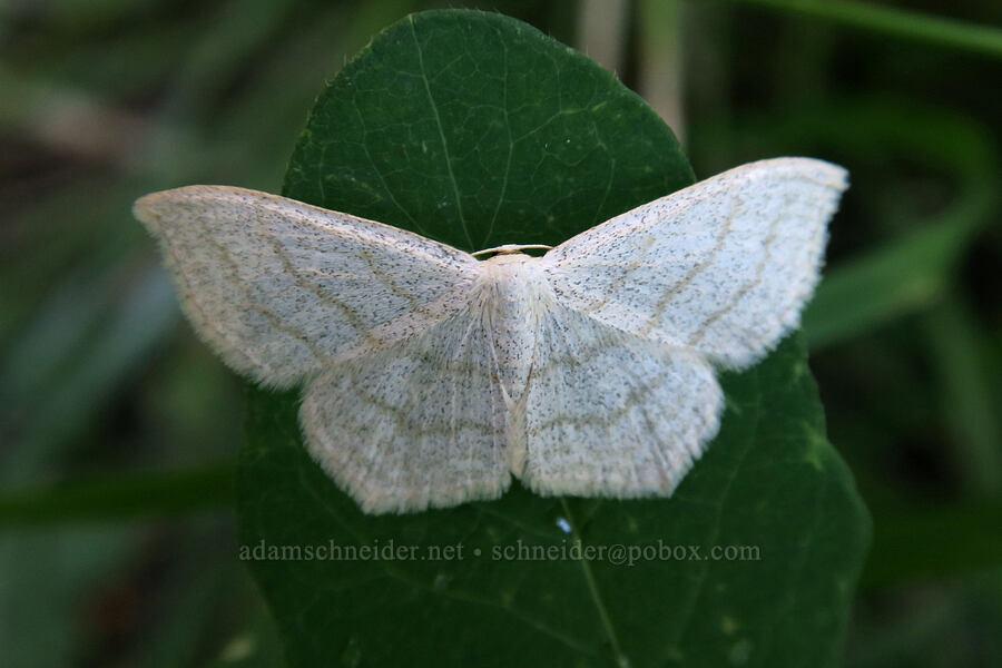 simple wave moth (Scopula junctaria) [Lake Josephine south dock, Glacier National Park, Montana]